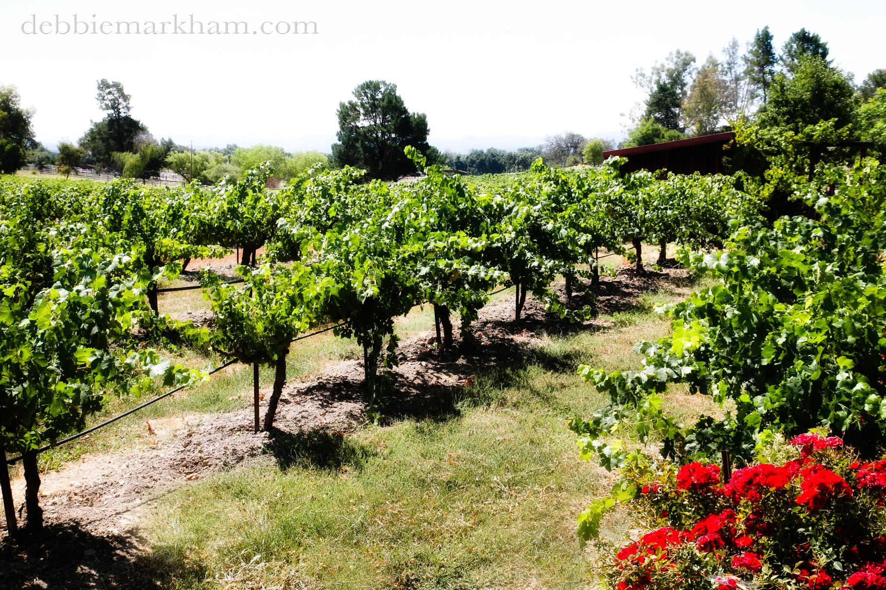Cambria Photographer Debbie Markham-Professional Wedding Photos at Castoro Winery - Vineyards Outdoor-21