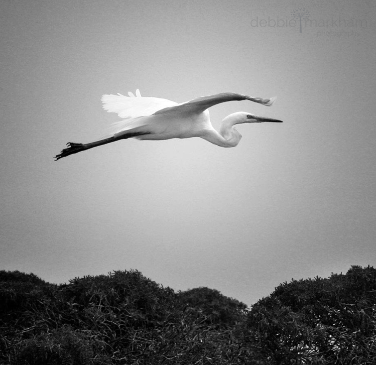 Debbie Markham Photo Egret over Fiscalini Ranch