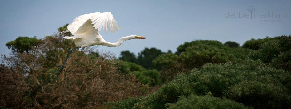 Debbie Markham Photo White Egret flying in Cambria at Fiscalini Ranch panoramic