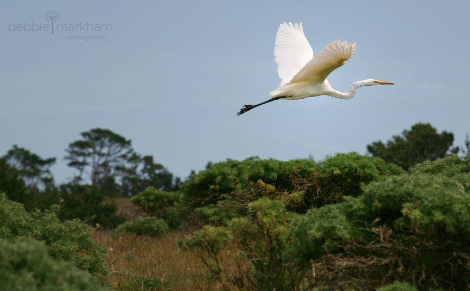 Debbie Markham Photo White Egret flying in Cambria at Fiscalini Ranch