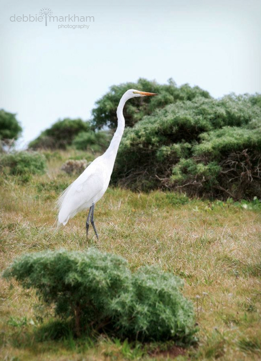 Debbie Markham Photo White Egret in Cambria at Fiscalini Ranch