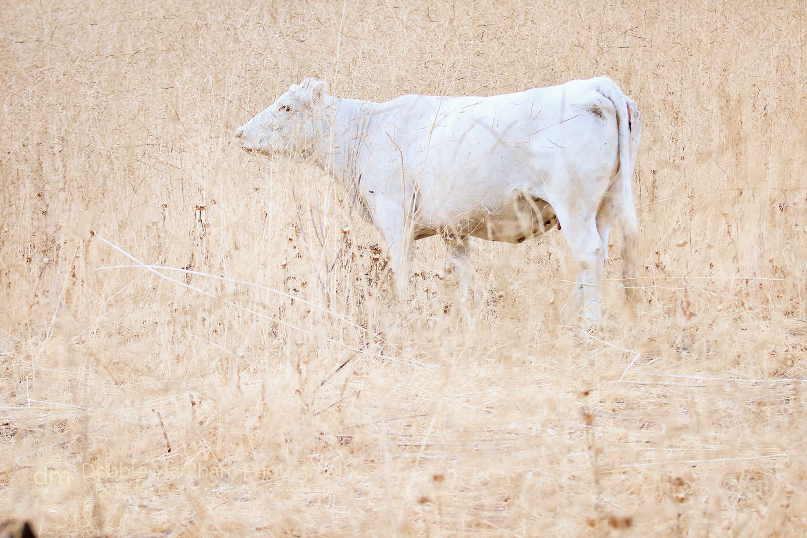 Aug 2014_Watermarked_White Cows on Hillside_Debbie Markham_Cambria Photographer--2